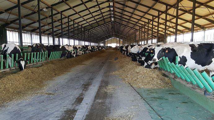 Grand troupeau de vaches laitières en bâtiment