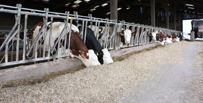 Vaches laitières à l'auge