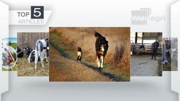 Des éleveurs bovins prêts à remplacer leur chien de troupeau par un chat?