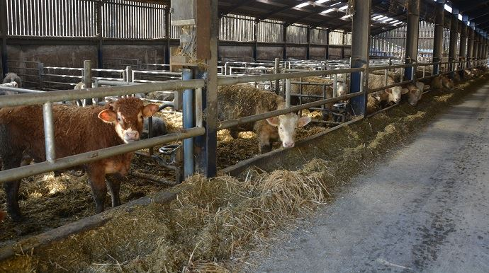 Elevage engraissement de bovins viande