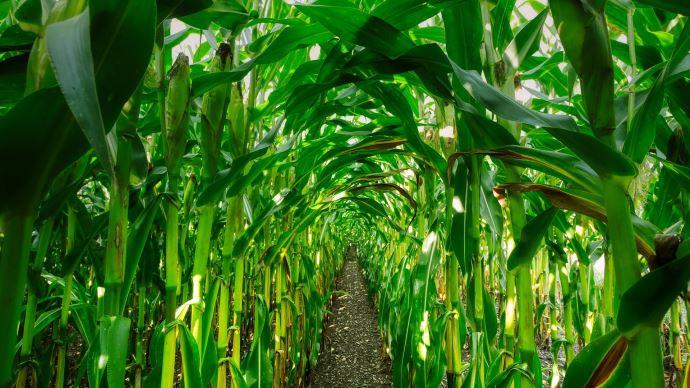 Une récolte de maïs qui s'annonce sous les meilleures auspices aux États-Unis