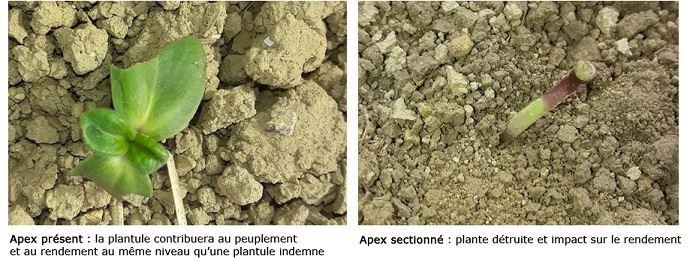 Comparaison entre un apex sain et un apex sectionné