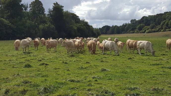 vaches allaitantes dans une prairie