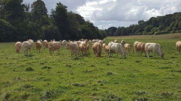 Peu d'impact sur le travail en bovins viande mais avec quelques adaptations