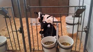 Le pair-housing: loger les veaux laitiers par deux pour plus de bien-être