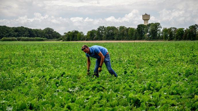 Romain Lhopiteau dans un de ses champs de betterave bio