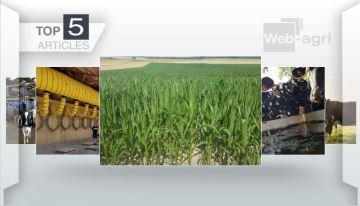 Semis de maïs en dérobé et stress thermique des bovins à la Une cette semaine