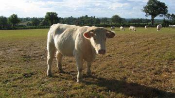 L'élevage du Charolais menacé