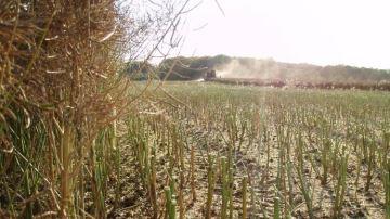 De faibles rendements pour les quelques éleveurs qui font encore du colza