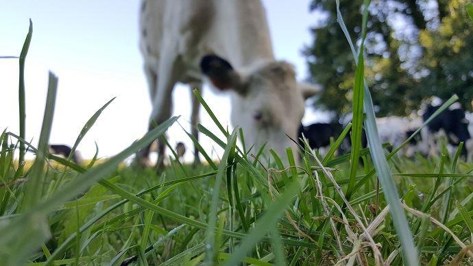 Pâturage troupeau laitier