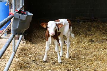 Un vêlage précoce promet-il de meilleures performances chez la vache adulte?