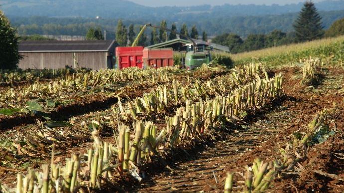 Chantier d'ensilage de maïs fourrage