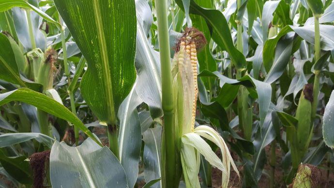 Les aléas climatiques ont, cette année encore, impacté les rendements en maïs, a déploré l'AGPM le 21 octobre.