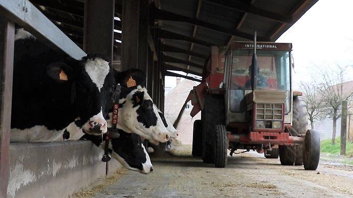 Distribution de la ration aux vaches laitières
