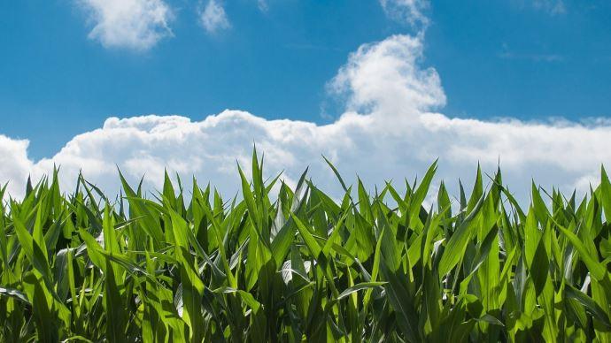 Les cours du maïs, déjà hauts, ont fini la semaine sur une nouvelle hausse à Chicago.
