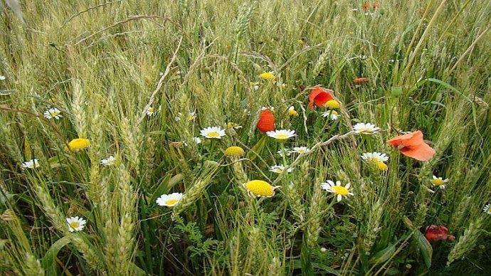 Adventices dans un champ de blé