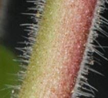 Tige du géranium à feuilles rondes