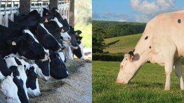 Est-ce plus durable de produire du lait avec du maïs ou de l'herbe pâturée?
