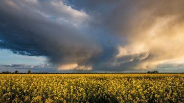 Hausse des températures, déficit de pluie: quels impacts sur les colzas?