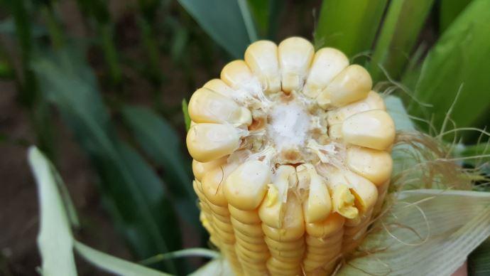 Malgré l'année difficile, l'AGPM reste mobilisée pour apporter des solutions aux producteurs