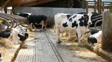 Une aide de 5¤/Holsteingénotypée