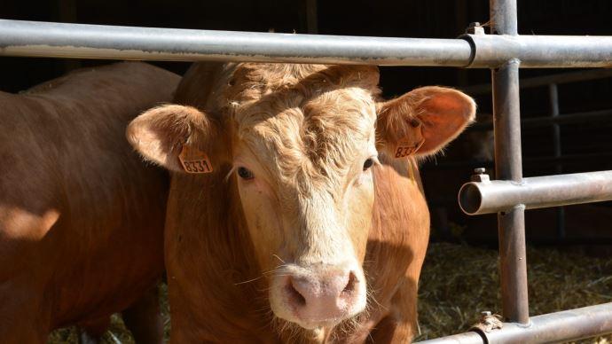 L'Idele prévoit une baisse de production de viande bovine de 1% en 2021
