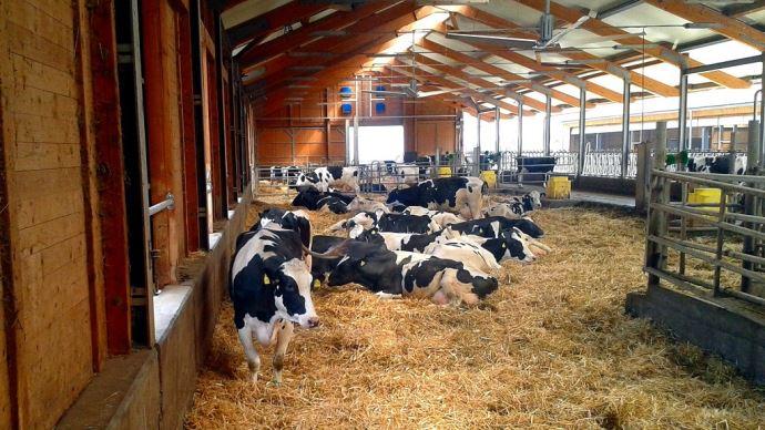 Vaches laitières en bâtiment l'été
