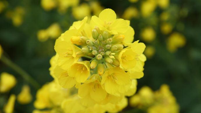 Colza en fleurs