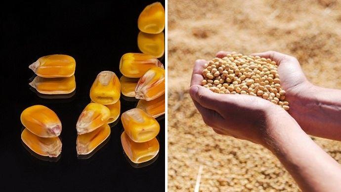 grains de mais et graines de soja