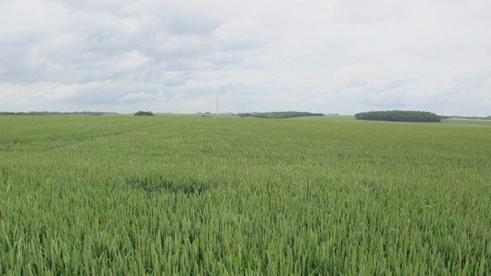 Champs blé tendre