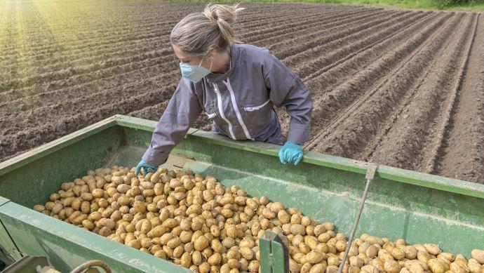 La pandémie de Covid-19 a fortement chamboulé l'équilibre des marchés de la pomme de terre.