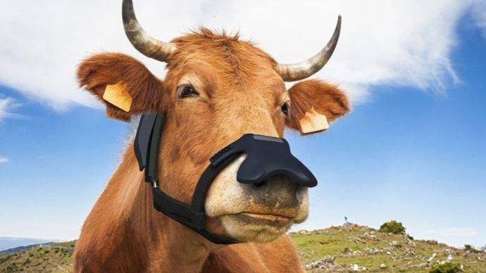Un masque anti-rots pour vaches