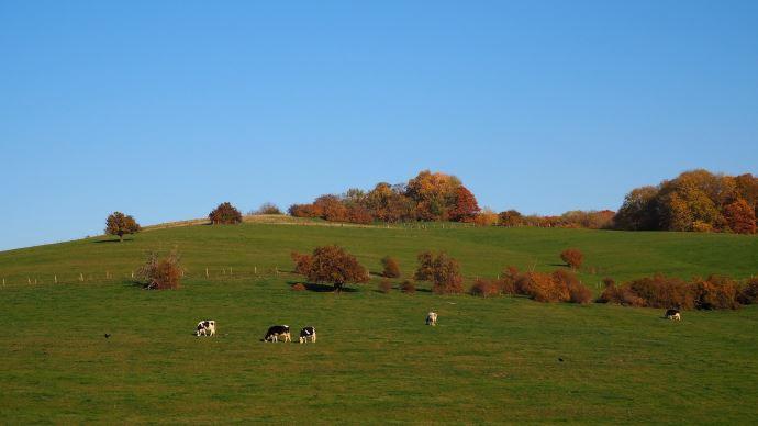 haies, vache, pâture, automne