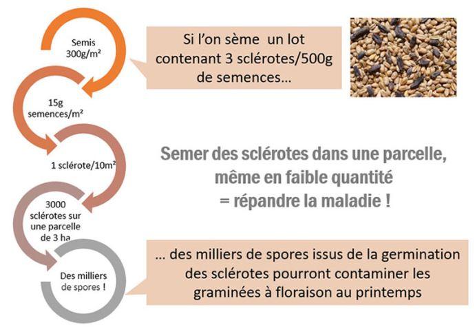 Pouvoir de contamination des sclérotes