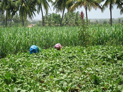 Une alternative à la canne à sucre dans les pays tropicaux