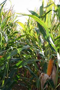 Les surfaces baissent légèrement mais le maïs fourrage se maintient