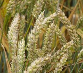 « Le blé bio est plus rentable »