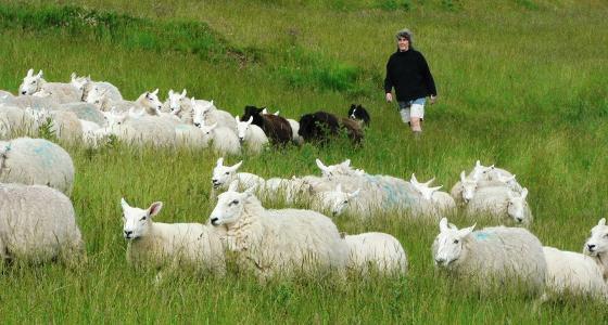 élevage ovin