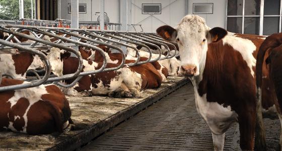 Vaches laitières logettes caillebotis
