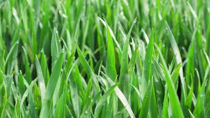 Parcelle de blé stade 2 noeuds à Dfp.