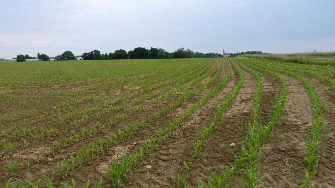 Parcelle de maïs dans l'Aisne.