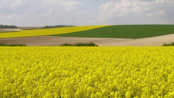 Champs de céréales et colza