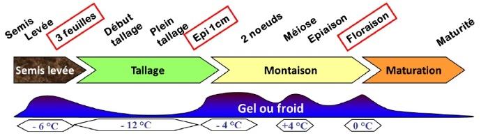 Figure 1 : seuils de tolérance au froid des blés selon le stade.